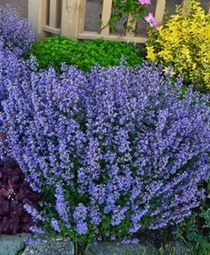 Catmint – How to Grow & Care for Nepeta - Garden Design Long Blooming Perennials, Sun Perennials, Purple Plants, Easy Care Plants, Lavender Flowers, Blue Flowers, Lavender Blue, Periwinkle Blue, Dark Purple