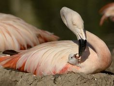 Chilean Flamingo (Phoenicopterus Chilensis) Adult Feeding a Chick on the Nest, Captive Stampa fotografica