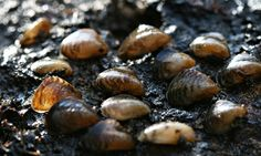 Warning as alien mussels found near Heathrow airport |  Quagga mussels, a species that could devastate wetlands and 'cost millions in tax and water bills', have been identified as the greatest single threat to UK wildlife