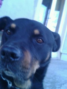 My dog  Atila <3