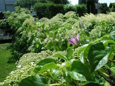 Blomstring i hekken! Et gammelt nettinggjerde har fått besøk av klatrehortensia, klematis og villvin. Garden, Plants, Pictures, Photos, Garten, Lawn And Garden, Flora, Gardening, Outdoor