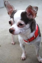 Coconut is an adoptable Chihuahua Dog in Bowling Green, OH. Hi! Staff is still getting to know me. Please check back soon, or stop out to the shelter to meet me!...