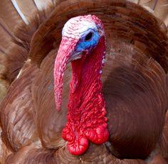 Heritage Bourbon Red Turkey
