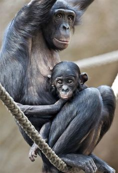 Wide-eyed little one Bonobo mother Lexi relaxes with her 6-month-old male baby, Yaro, at the zoo in Leipzig, Germany, on Oct. 2, 2013.