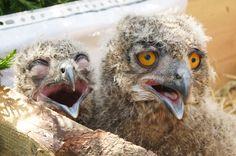 2 jonge uilen