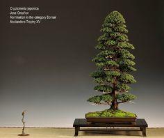 El bonsái y yo: Cryptomeria Japónica