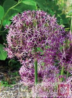 Allium Christophii has a big fat flower head which looks great long after the bloom has faded. Garden Bulbs, Planting Bulbs, Garden Plants, House Plants, Coastal Gardens, Beach Gardens, Summer Garden, Winter Garden, Gravel Garden