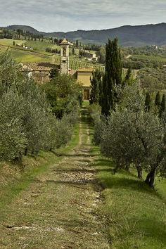 olive trees line the entrance to the vineyard, Tuscany, Italy