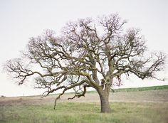 Can I find a tree like this in Oregon to get married under? This is in Santa Ynez, photographed by Jose Villa (http://josevillablog.com/).