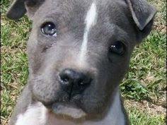 pitbull cachorro - Buscar con Google American Pitbull, Blue Dog, Pitbull Terrier, Pit Bull, Dog Lovers, Gallery, Google, Dogs, Animals