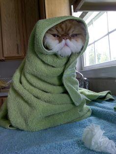Peanut Butter, persian cat.