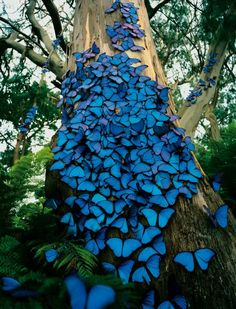 Amazing photo of blue butterflies nesting on a tree!  Wow, Wow, Wow....nature is amazing!