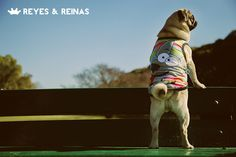 Primavera Verano / Pug / Jack Russell Terrier / Poodle / Caniche / Plaza / Juegos / Park / Happy dog / Fashion Dogs Dog Fashion, Jack Russell Terrier, Happy Dogs, Poodle, Pugs, Animals, King Queen, Camping Mats, Seasons