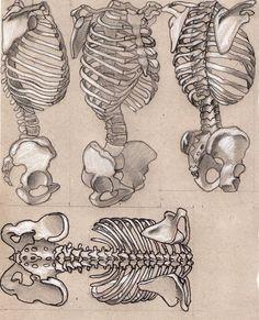 torso 2 by on DeviantArt Skeleton Drawings, Human Skeleton, Skeleton Art, Human Anatomy Drawing, Body Drawing, Life Drawing, Human Anatomy For Artists, Anatomy Bones, Body Anatomy