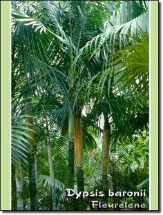 Dypsis baronii Sugar Cane Palm