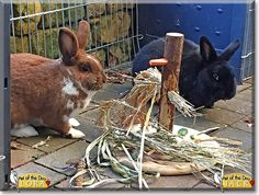 Read Jack & Lora's story the rabbits from Nieder-Olm, Germany and see their photos at Pet of the Day http://PetoftheDay.com/archive/2015/March/24.html