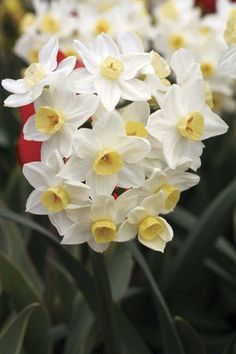 Avalanche. Tazetta.   called 'Seventeen Sisters' in the past because of its 15-20 white petaled and demitasse-shaped cupped, sweetly fragrant flowers per stem. Heirloom 1700