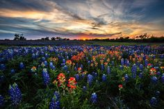Bluebonnet Glory Photograph by Chris Multop