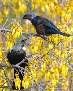 Tui in a Kowhai tree - NZ. The tui is an endemic passerine bird of New Zealand. It is one of the largest members of the diverse honeyeater family. The name tui is from the Maori language name tūī and is the species' formal common name. Bird Pictures, Animal Pictures, Beautiful Birds, Animals Beautiful, Beautiful Pictures, Tui Bird, Animals And Pets, Cute Animals, Nz Art