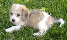 Glechon = cute little mutt; bichon + beagle