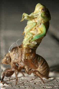 A molting Cicada shedding its exoskeleton: A large homopterous insect with long transparent wings. The male cicada makes a loud shrill droning noise after dark by vibrating two membranes on its abdomen.