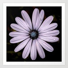 Buy Daisy Mauve Art Print by xiari_photo. Worldwide shipping available at Society6.com .#daisy, #mauve, #purple, #white, #violet, #indigo, #drop, #water, #flower, #nature, #natural, #garden, #outdoor, #backyard, #black, #background, #petals #bloom, #spring, #season, #happy, #central, #blue, #flowers, #head, #wet, #photo, #photography, #nikon, #dslr #art #artprint