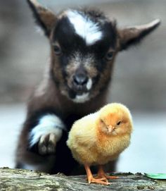 Goat and chicken friendship