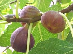 BROWN TURKEY FIG TREES 1' SEEDLING STARTER PLANT EDIBLE LANDSCAPING FRUIT TREE