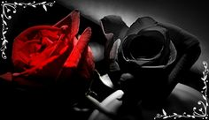 red and black roses
