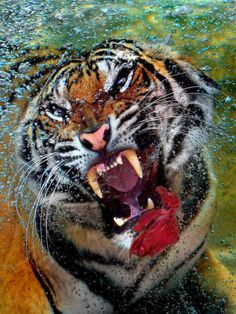 Tiger dives for dinner – Six Flags Discovery Kingdom Park. Photo by Juan Leon