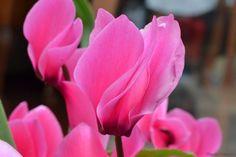 Cyclamen persicum by Claudia Crempien - PhotoBlog