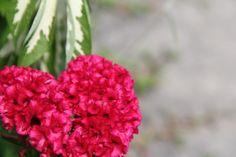 Celosia cristata - Celosia cristata - Wikipedia, the free encyclopedia Compost, Celosia Flower, Media Sombra, Ornamental Plants, Fruit, Flowers, Iron Gates, Club, Gallery
