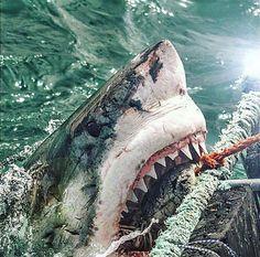 Predators and Preys : Photos Shark Pictures, Shark Photos, Shark S, Shark Week, The Great White, Great White Shark, Apex Predator, Ocean Creatures, Mundo Animal