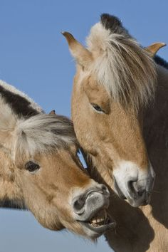 Aaaaw, c'mon....just one little smooch!  ~W   Fjord Horses