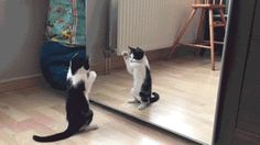 cat in the mirror💔 7 Best Cat Gifs of the Week – June 2016 - We Love Cats and Kittens Funny Cats And Dogs, Cats And Kittens, Funny Animals, Cute Animals, Funny Cat Videos, Funny Cat Pictures, Cute Pictures, I Love Cats, Crazy Cats