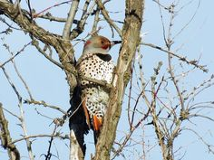 Northern Flicker-Red Shafted Intergrade (birds Fall+colors trees wild+animals ). Photo by backwardguy