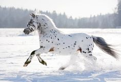 AppaloosaCredit: Olga_i, ShutterstockAn appaloosa, known for its spotted coat, runs through the snow. (This photo corrects a previous version.)