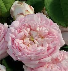 Bildresultat för gammaldags ros