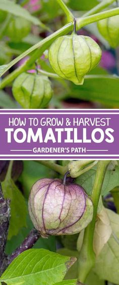 If you've grown tomatoes, you can grow tomatillos. The zippy green fruit — bearing an unusual, papery husk — is commonly used in Mexican cooking and has growing requirements similar to that of the tomato. Learn all about growing them now on Gardener's Pat Tomato Garden, Tomato Plants, Fruit Garden, Edible Garden, Harvest Garden, Potted Plants, Hydroponic Gardening, Organic Gardening, Gardening Tips