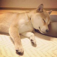 sleeping shiba-inu