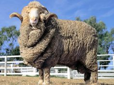 The Australian Merino derives its name and basic appearance from the Spanish breed, it is a distinct breed in its own right, developed and adapted in Australia to the specific conditions of this country. Merino sheep were brought to Australia from the Cape Colony, England, Saxony (South East Germany), France, and America. The Australian Merino is not a single homogenous breed but a number of strains of sheep all of which, regardless of their origins, are uniquely Australian.