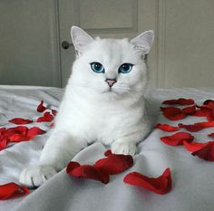 Coby the Cat - British Shorthair