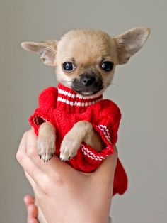 chihuahua puppy in red sweater