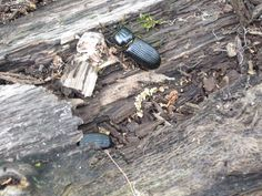 beetle ~ giant city state park, southern illinois