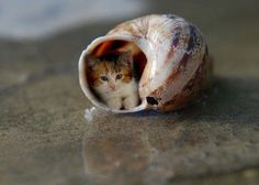 animal-factbook: This is the rare species Snailus Catus, which is a breed of cats so tiny that they must live like snails in order to survive. However, since they are not genetically predisposed to know that they need a shell, they must rely on humans to give them the proper shelter and support they need to survive.