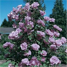 ... climbing rose thornless climbing rose blue moon climbing rose climbing
