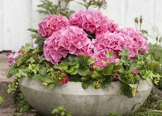 Hortensia, eføy og jordbær trives godt i krukke på terrassen