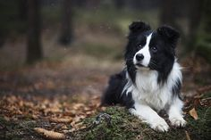 Muffin - border collie - Muffin in the Karkonosze mountains. Muffin's page: https://www.facebook.com/muffinbordercollie/ Dog photos: https://www.facebook.com/SnapDogPL/ Travel: https://www.facebook.com/zurawinska