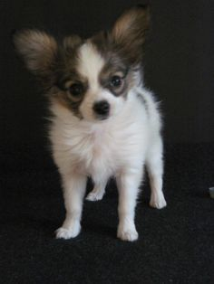 This is Sofie. She is our tiny Papillon puppy, just under 2 lbs at 12 weeks..