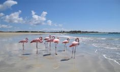 Pink Flamingos strolling along a Galapagos beach